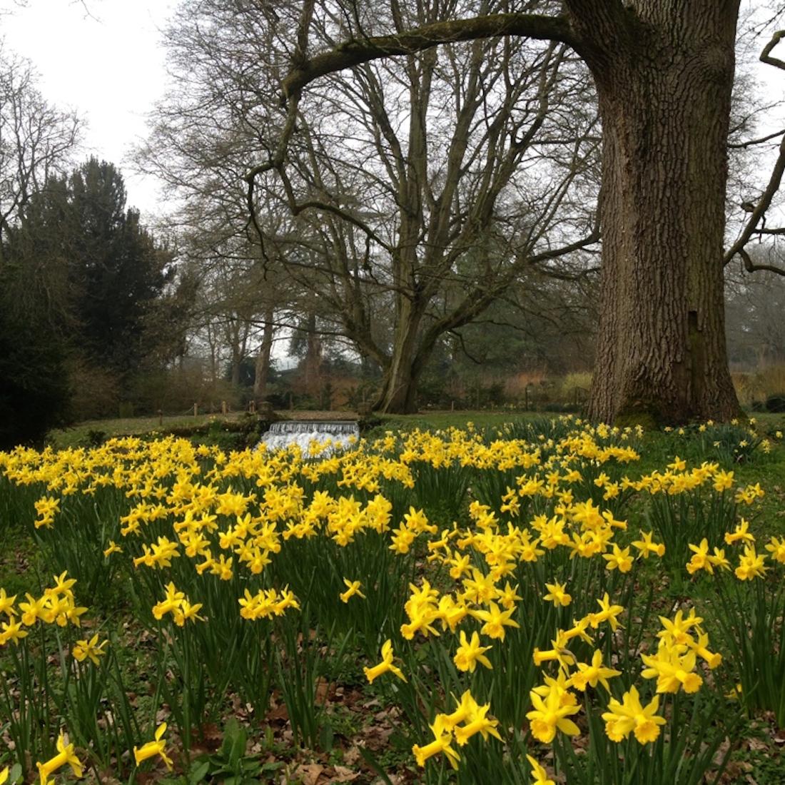 Mottisfont Abbey Spring Daffodils